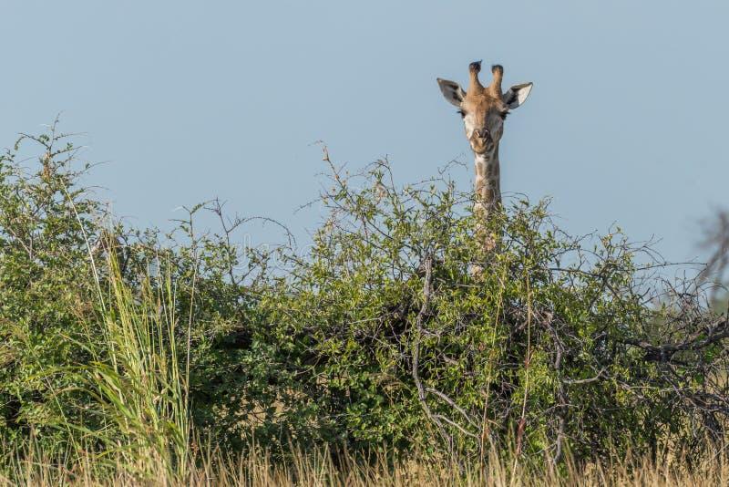 Giraffe, die über Busch unter blauem Himmel lugt stockfoto