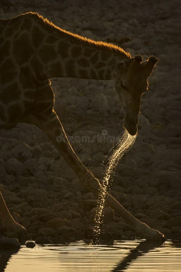 Giraffe, die an der Dämmerung trinkt lizenzfreie stockfotos