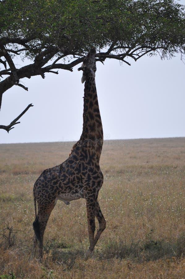 Giraffe, die für Lebensmittel erreicht stockfotos