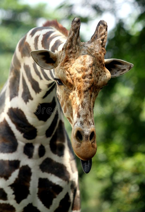 Giraffe, die heraus seine Zunge haftet stockfotografie