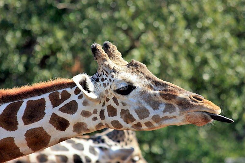 Giraffe, die heraus Zunge haftet lizenzfreie stockfotografie