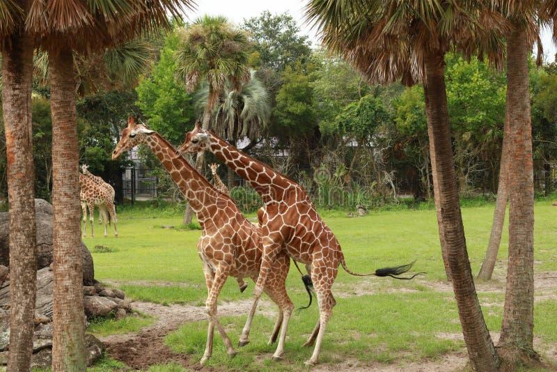 Giraffe, die sich große Mühe gibt, Klasse Giraffa in der Frau zu verbinden lizenzfreie stockfotos