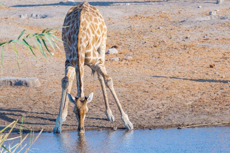 Giraffe, die vom waterhole im Tageslicht knit und trinkt Safari der wild lebenden Tiere in Nationalpark Etosha, das Hauptreisezie lizenzfreies stockbild