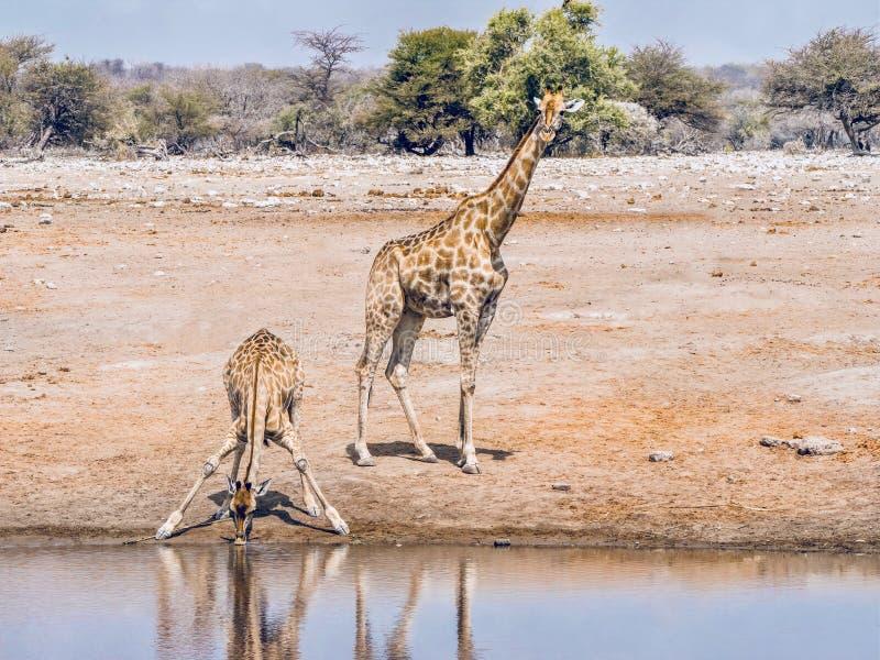 1,399 Giraffentrinkens Fotos - Kostenlose und Royalty-Free
