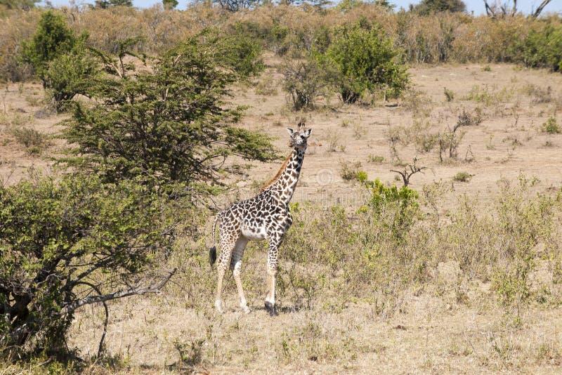Giraffe do bebê foto de stock royalty free
