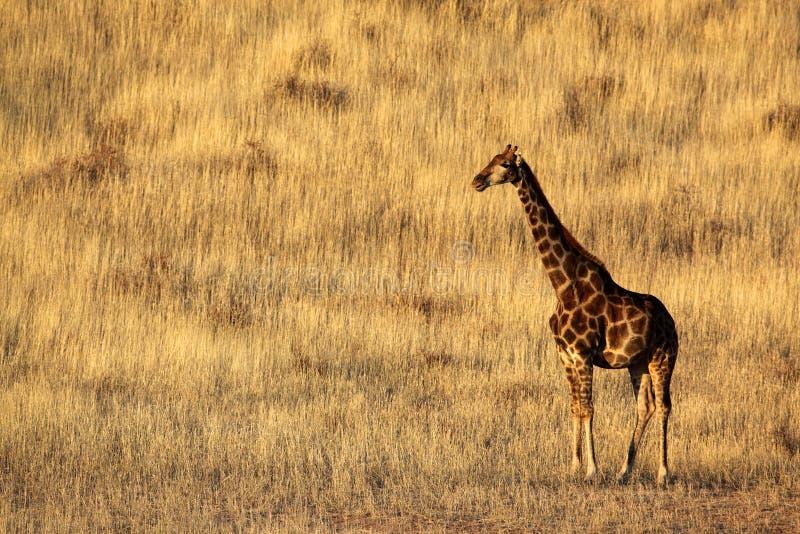 Giraffe do deserto de Kalahari em dunas gramíneas imagem de stock royalty free