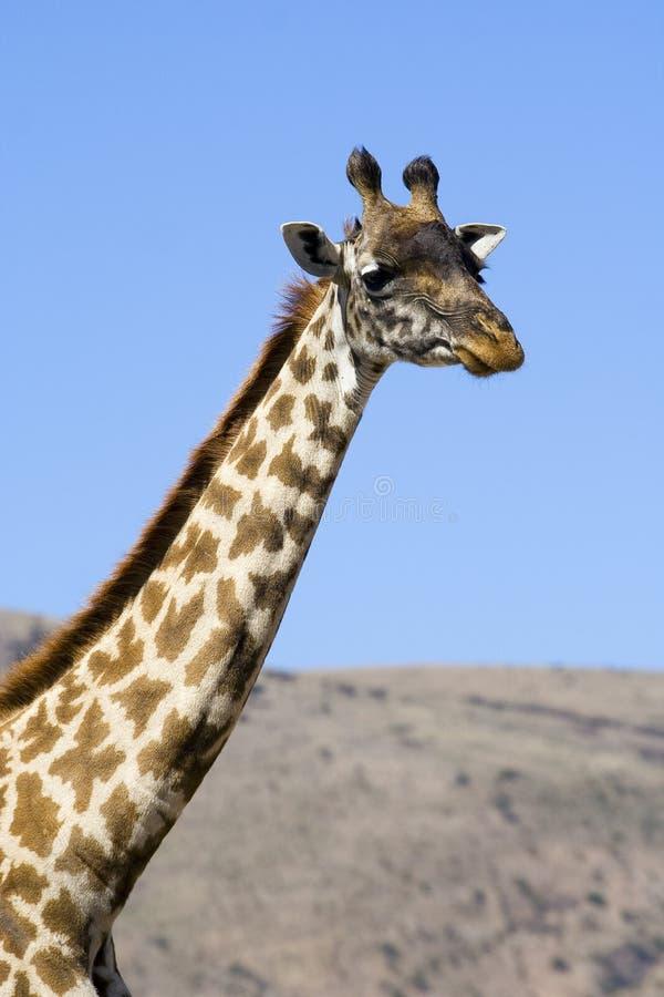 Giraffe do Masai - cabeça e garganta fotografia de stock
