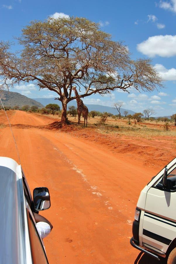 Giraffe do safari imagem de stock