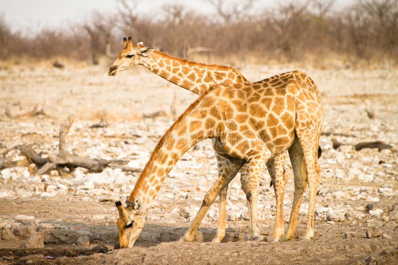 Download Giraffe drinking stock photo. Image of open, blue, water - 18388800