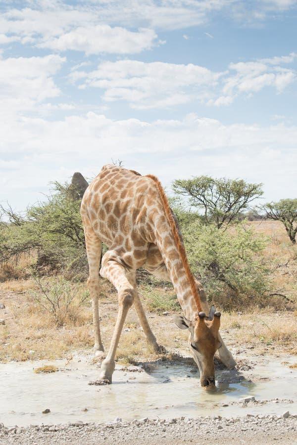 Giraffe drinking in Etosha National Park, Namibia royalty free stock photos