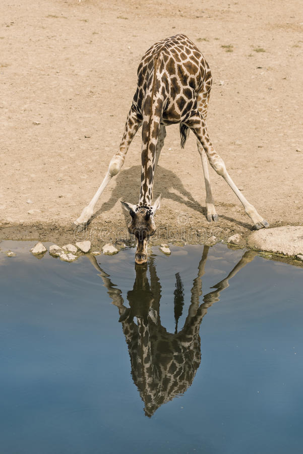Free Giraffe Drinking Water Royalty Free Stock Photos - 79073858