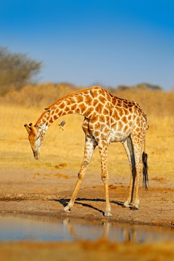 Free Giraffe Drinking Water From The Lake, Evening Orange Light, Big Animal In The Nature Habitat In Botswana, Africa. Big African Anim Stock Photo - 121947860