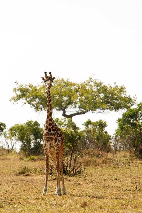 Giraffe in dry African savanna on a lookout for predators stock images