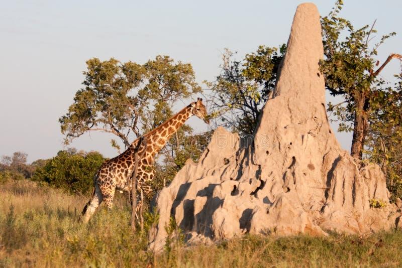 Giraffe durch einen Termite-Damm stockfotografie