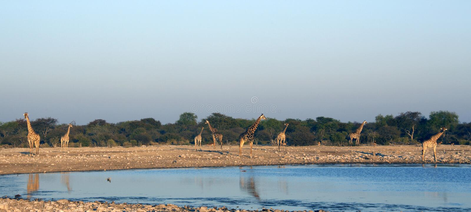 Giraffe at dusk by a waterhole in Namibia royalty free stock images