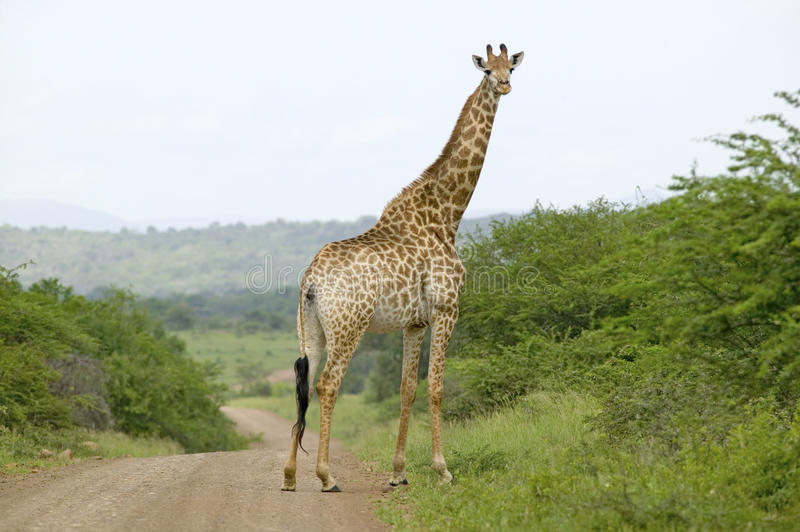 Giraffe on dusty road looking into camera in Umfolozi Game Reserve, South Africa, established in 1897 royalty free stock images