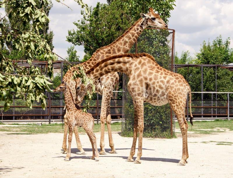 Giraffe e bambino fotografie stock libere da diritti