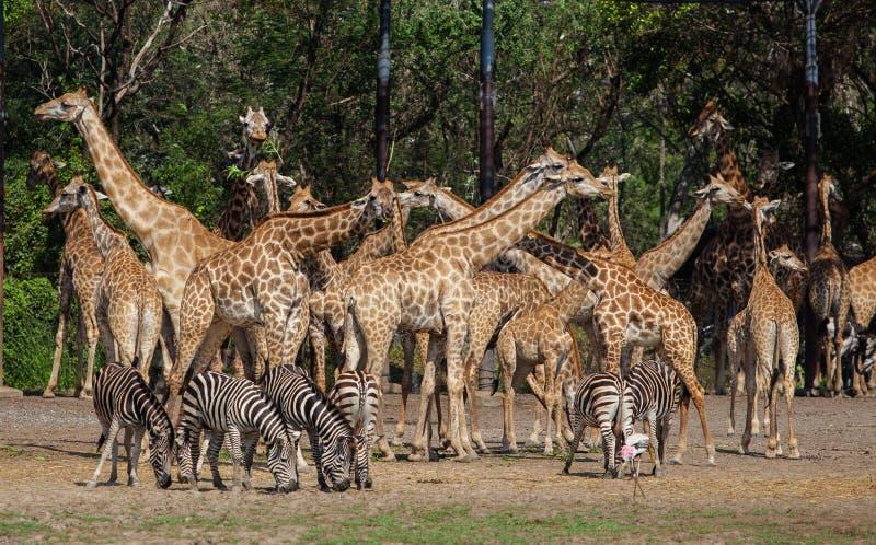 Giraffe e zebre in Safari World immagini stock