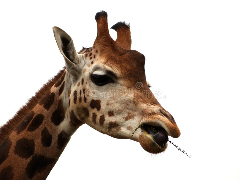 Download Giraffe Eating Stock Image - Image: 4422131