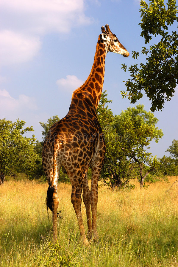 Download A Giraffe eating stock photo. Image of single, bushveld - 7920842