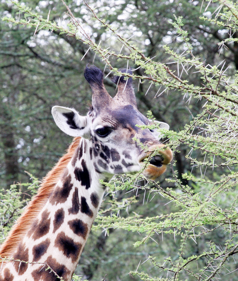 Free Giraffe Eating Acacia Tree Royalty Free Stock Photo - 1646635