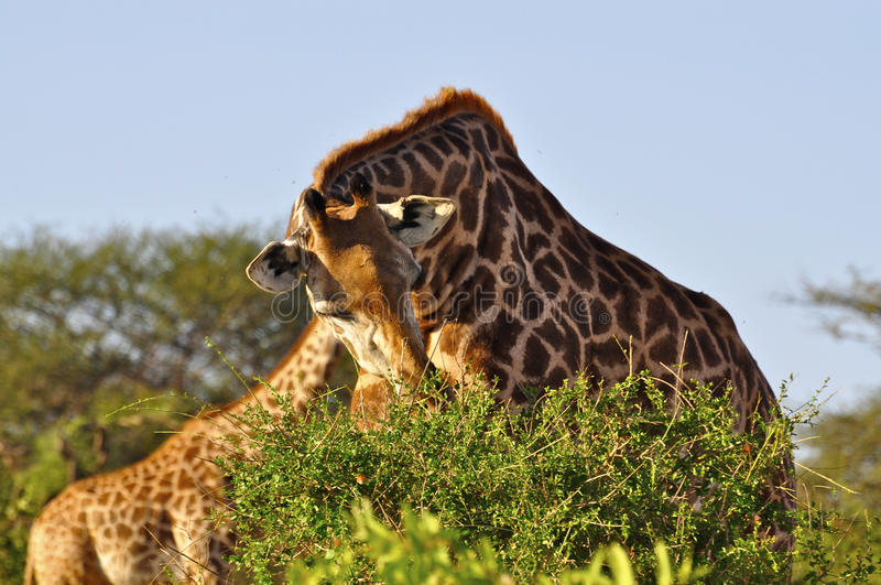 Giraffe eating Africa stock photo