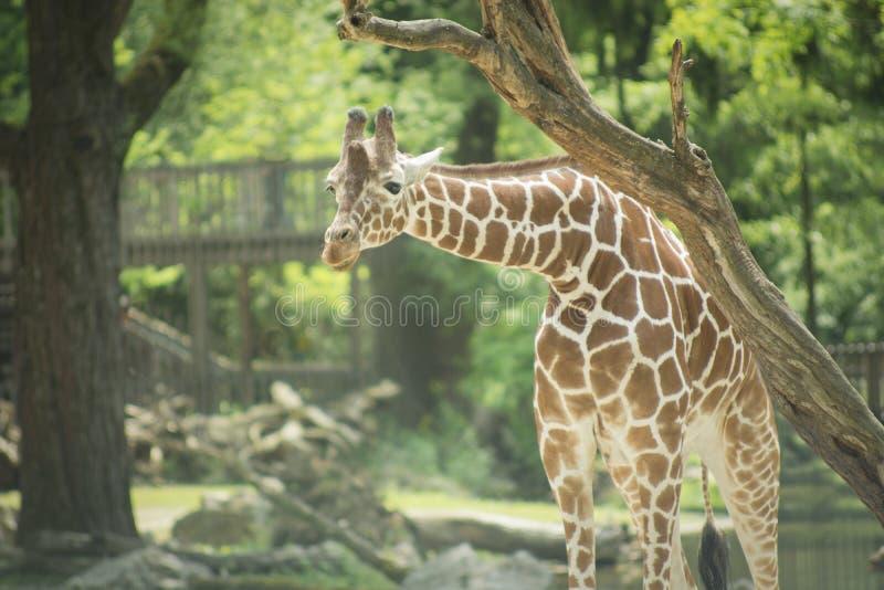 The giraffe eating stock images