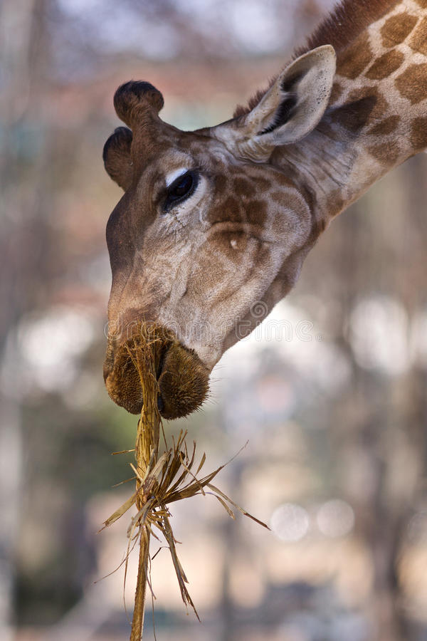 Free Giraffe Eating Dry Grass Royalty Free Stock Images - 13425189