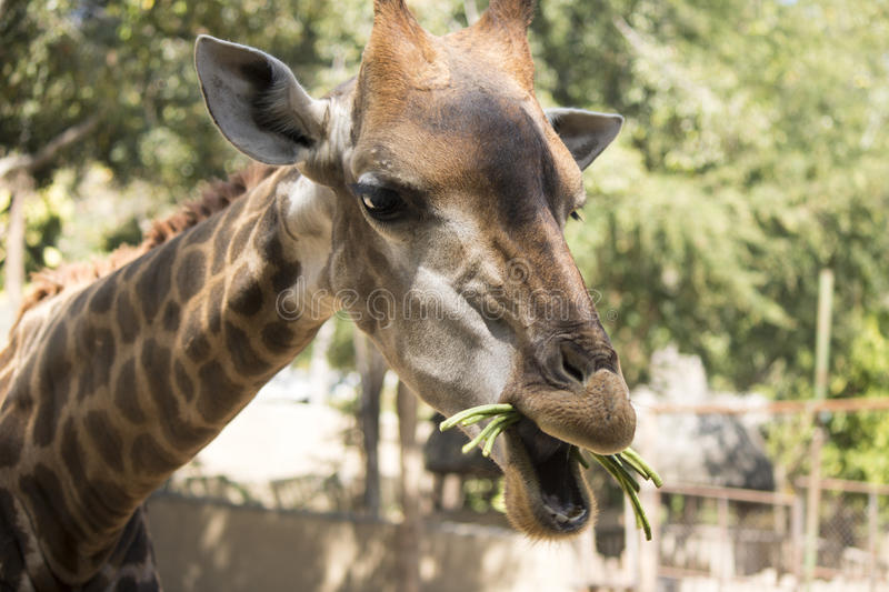 Giraffe eating grass at the zoo stock photo
