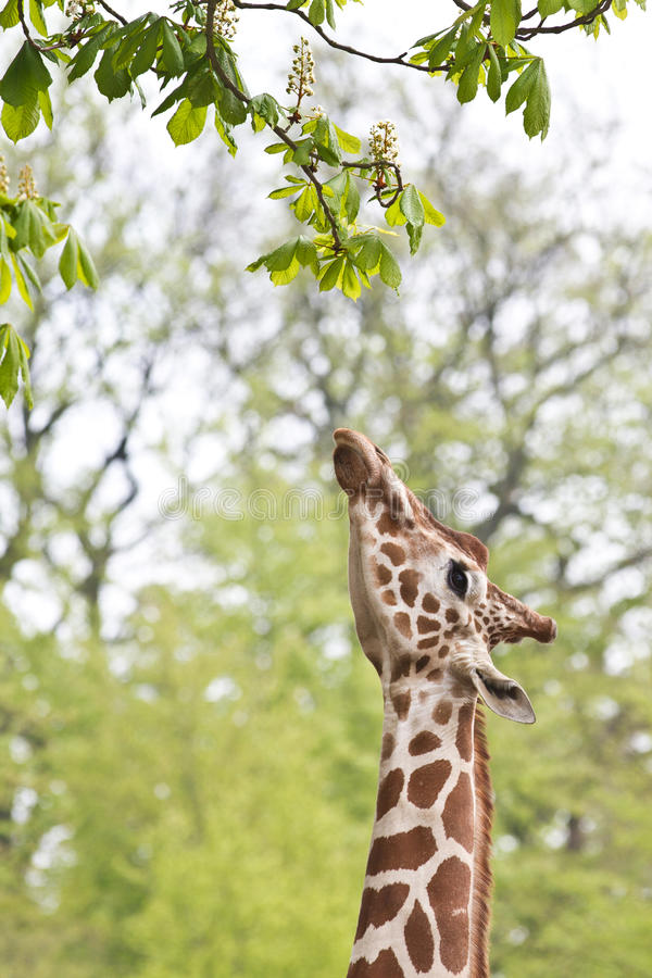 Giraffe eating a leaf. A giraffe eating a leaf in a danish zoo royalty free stock photography