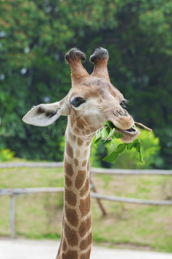 Giraffe eating leaf. In zoo royalty free stock photos