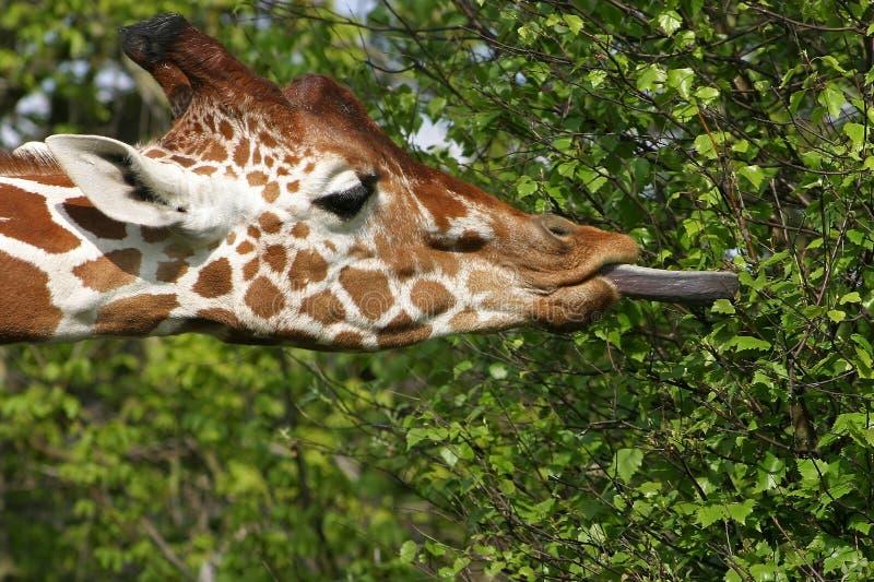 Giraffe eating leafs royalty free stock photo