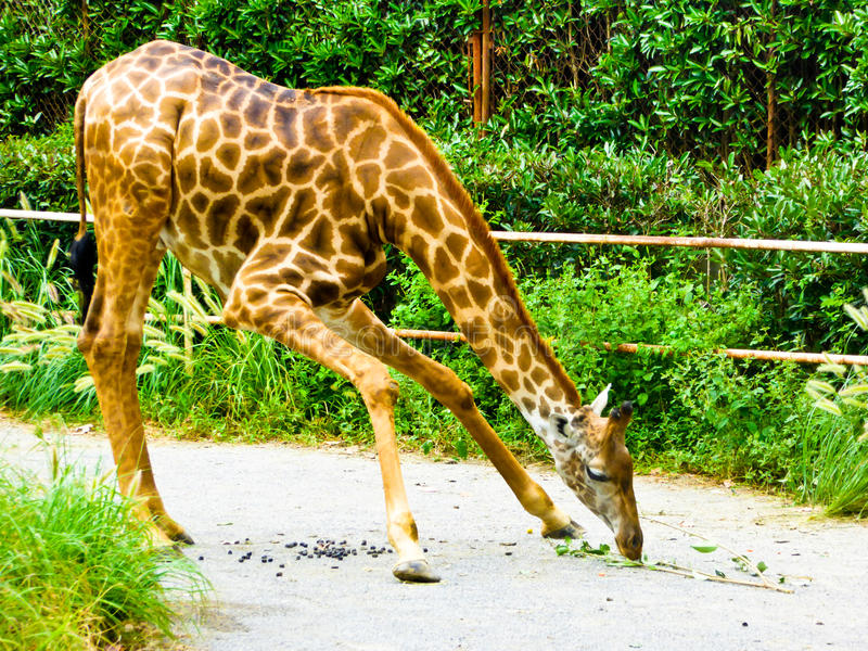 Giraffe eating leaves royalty free stock photography