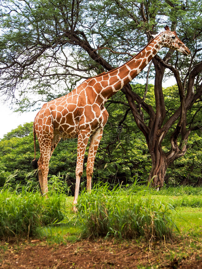 Giraffe Eating Leaves from Treetop. A giraffe reaches the top of the trees to eat leaves stock photo