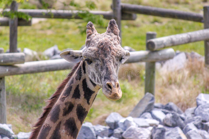 Giraffe Eating and Looking at the Camera. S stock photography