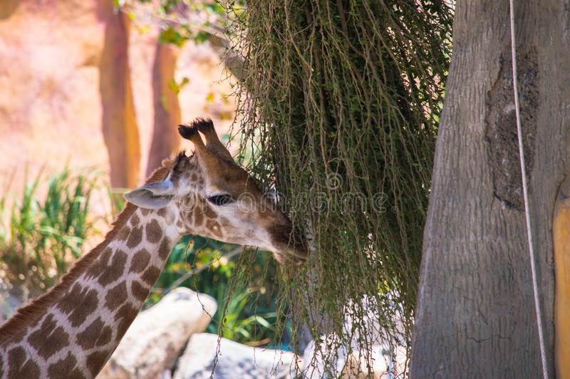 Giraffe eating plants royalty free stock image