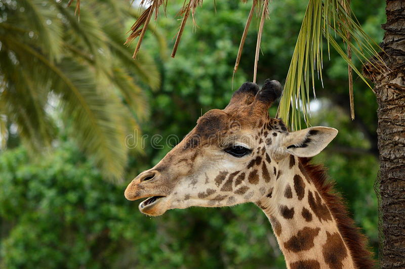 GIRAFFE EATING PLANTS PORTRAIT. A close up head shot of a Giraffe chewing his food. Taken at the San Diego Zoo's Wild Animal Park. This one appears to be a male stock images
