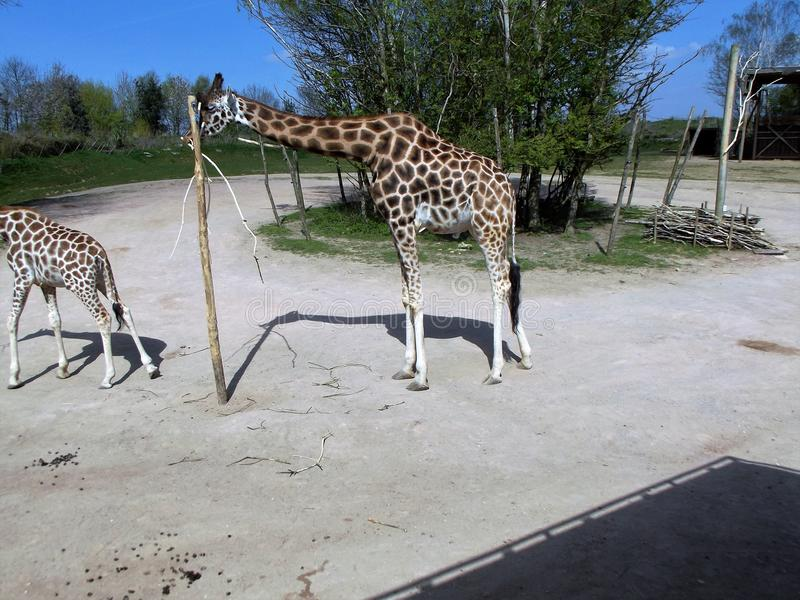 Giraffe. Eating from a stick in a safari park stock images