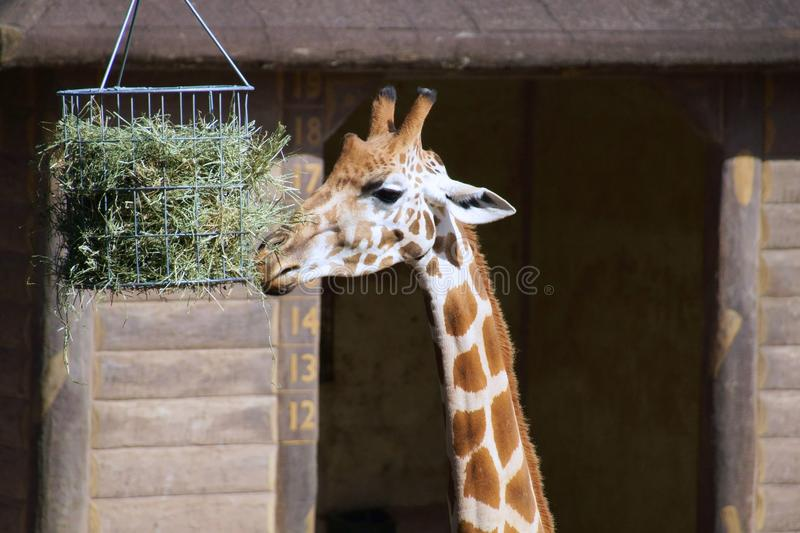 Giraffe eating at Taronga Zoo. stock photos