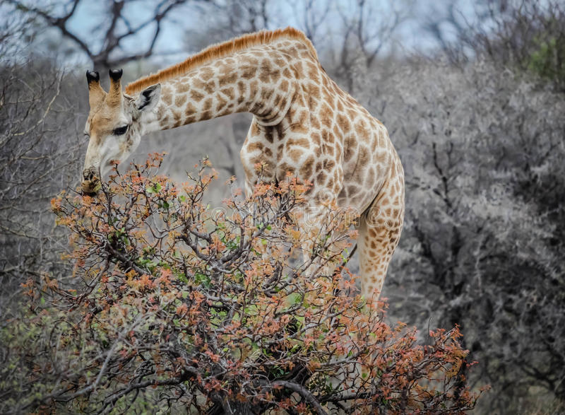 Giraffe eating from trees royalty free stock photos