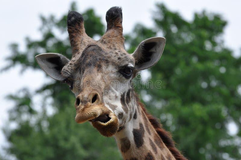Giraffe effectuant le visage drôle images stock