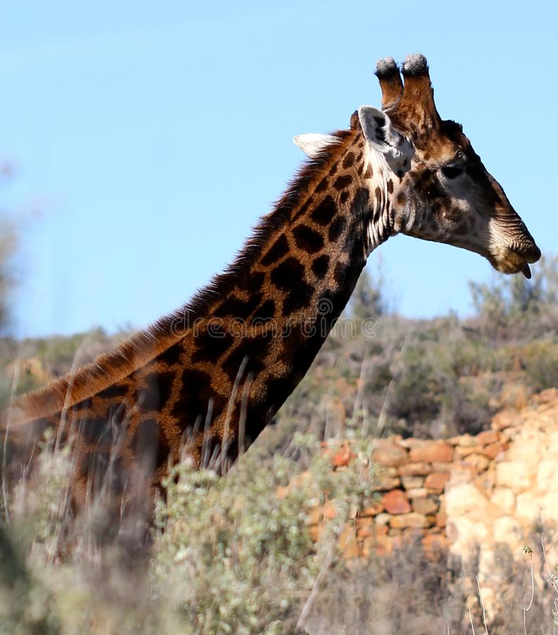 Giraffe em África do Sul fotografia de stock