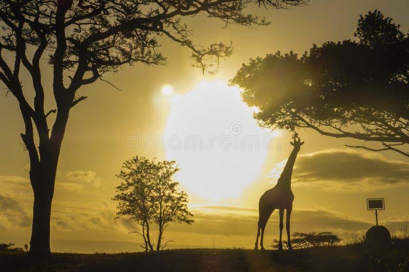 Giraffe em África do Sul imagens de stock royalty free