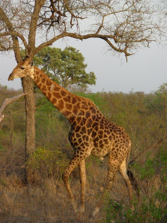 Giraffe em África do Sul imagem de stock