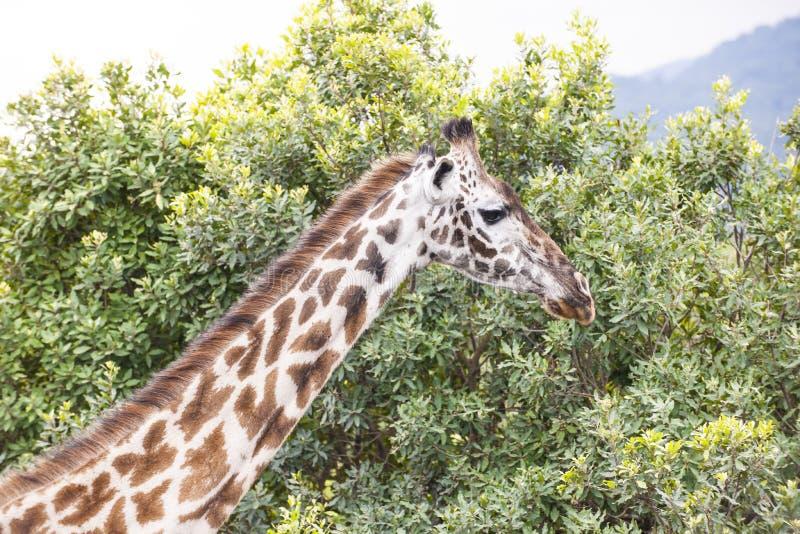 Giraffe em Tanzânia imagem de stock