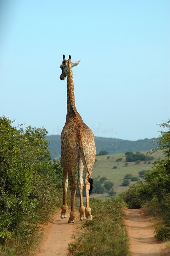 Giraffe en Afrique du Sud images stock