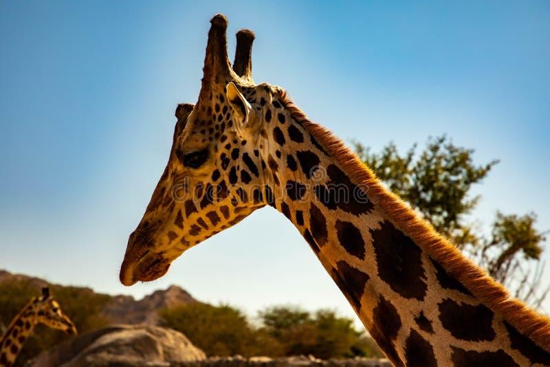 Giraffe royaltyfri bild