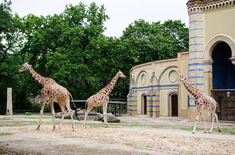 Giraffe enclosure in Berlin zoo. Giraffes walking around their enclosure in Berlin zoo, Germany stock images