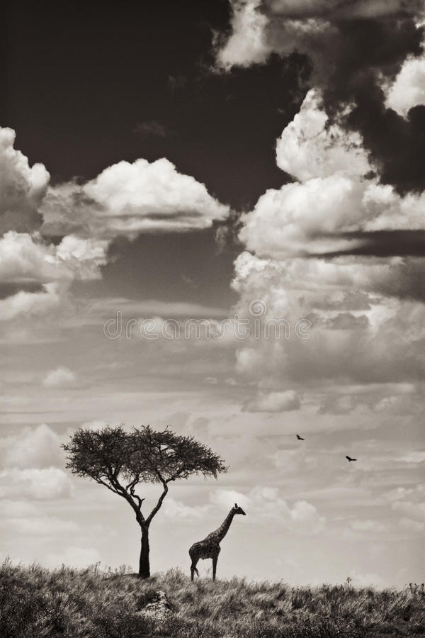 Giraffe et arbre photographie stock