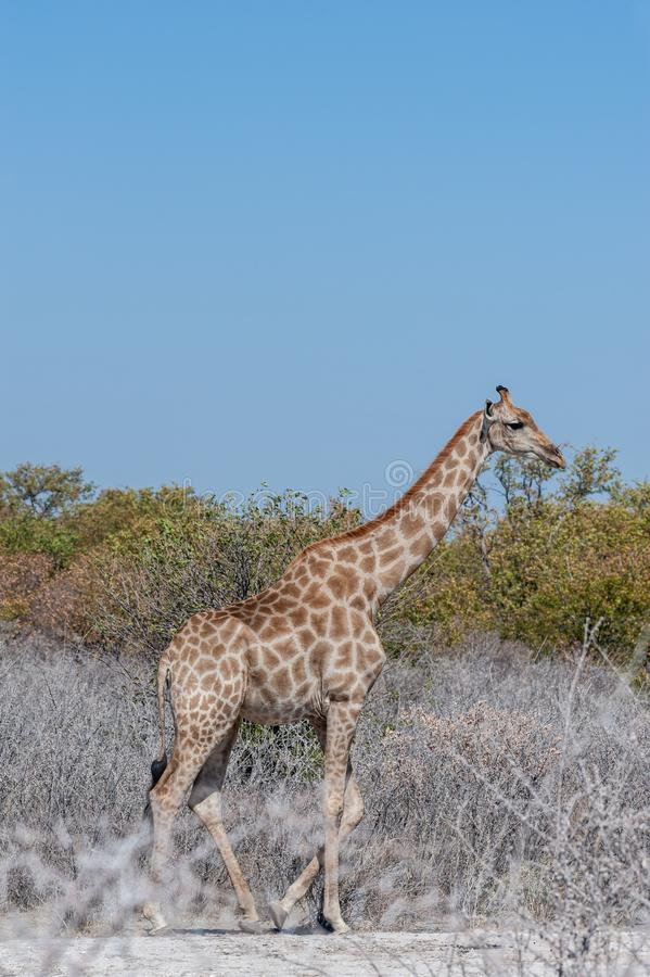 A Giraffe in Ethosha. An Angolan Giraffe - Giraffa giraffa angolensis- standing on the plains of Etosha national Park in Namibia royalty free stock image